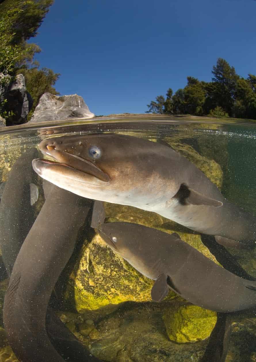 A longfin eel in New Zealand