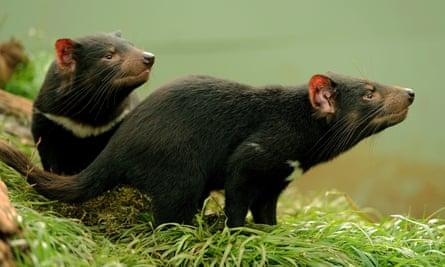 Tasmania Launches Roadkill Campaign To Reduce 500 000 Native Animal Deaths Tasmania The Guardian