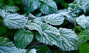 Frost-encrusted common stinging nettle leaves