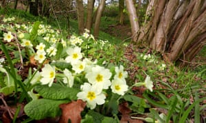 Primroses flowering in a coppice