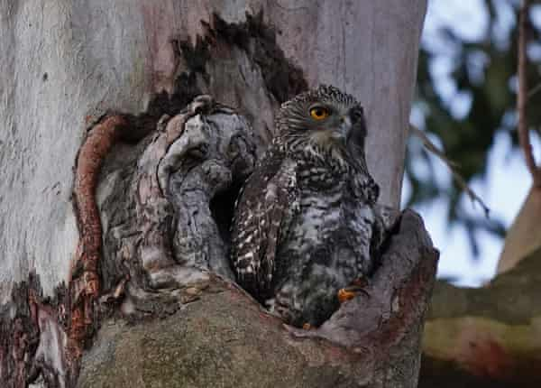 A powerful own with chicks pictured nesting in inner-city Brisbane