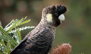 Western Australia's Carnaby's black-cockatoo is listed as endangered because of continued habitat loss.