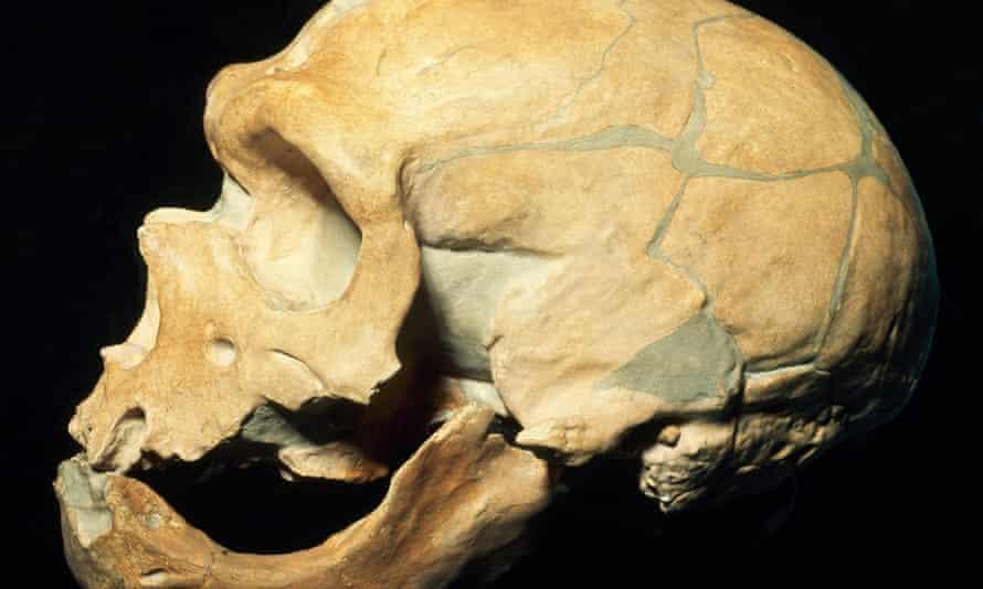 A Neanderthal skull.
