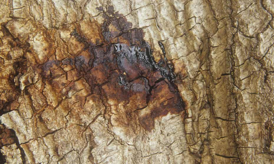 Oozing from the bark of a live oak (Quercus) suffering from Sudden Oak Death.