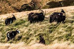 Feral goats graze  on Pennine Way in the Cheviot Hills on the Anglo-Scottish border