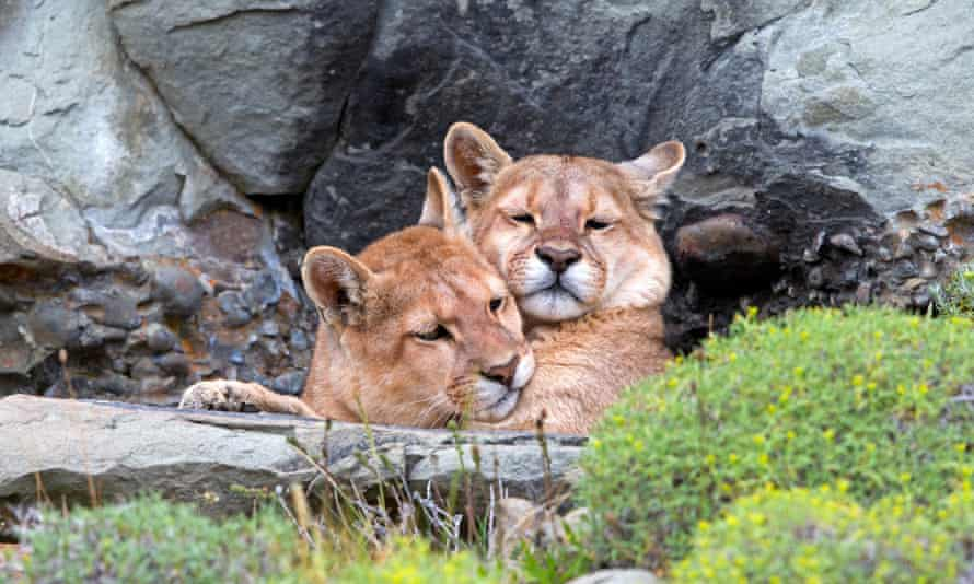 Animal magic: pumas in the Torres del Paine National Park.