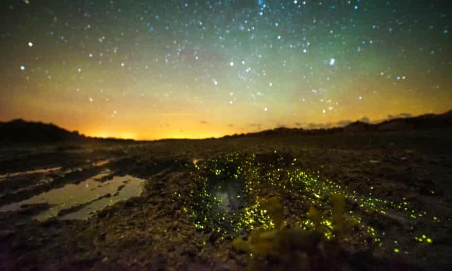 Landscape shot of bioluminescence in Jersey, caused by Caulleriella bioculata glowworms.