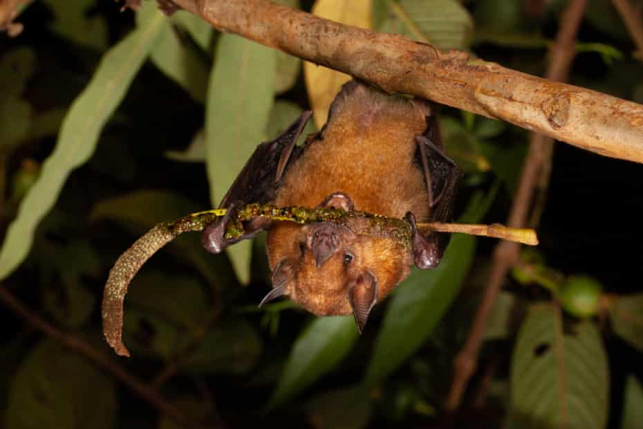 The little yellow-shouldered bat