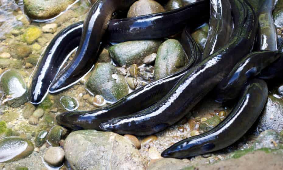 New Zealand's longfin eels