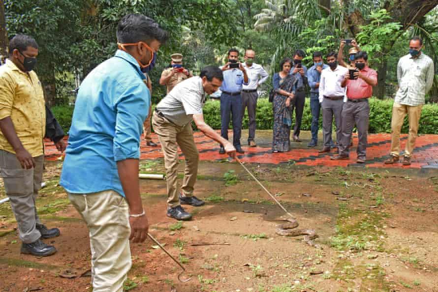 Sandeep Das rescues a Russell's viper.