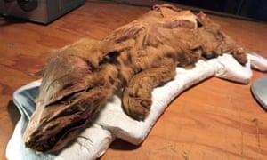 Yukon wolf pup remains
