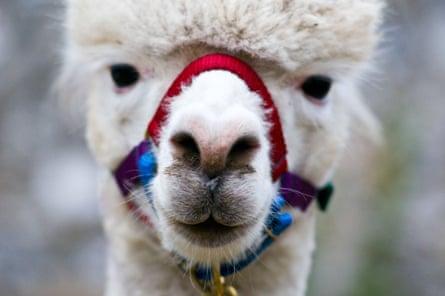 close up of Lama's face
