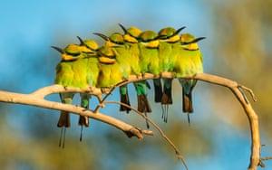 Rainbow bee-eaters in Great Sandy Desert, Western Australia.