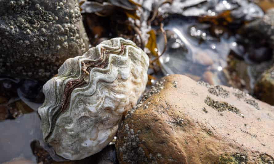 Oyster on the beach in Whitstable, Kent