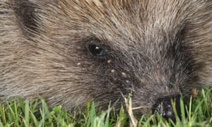 Ticks burrowing into the skin of a hedgehog.