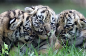 Shandong, China Tiger cubs are displayed to the public for the first time at Jinbao zoo
