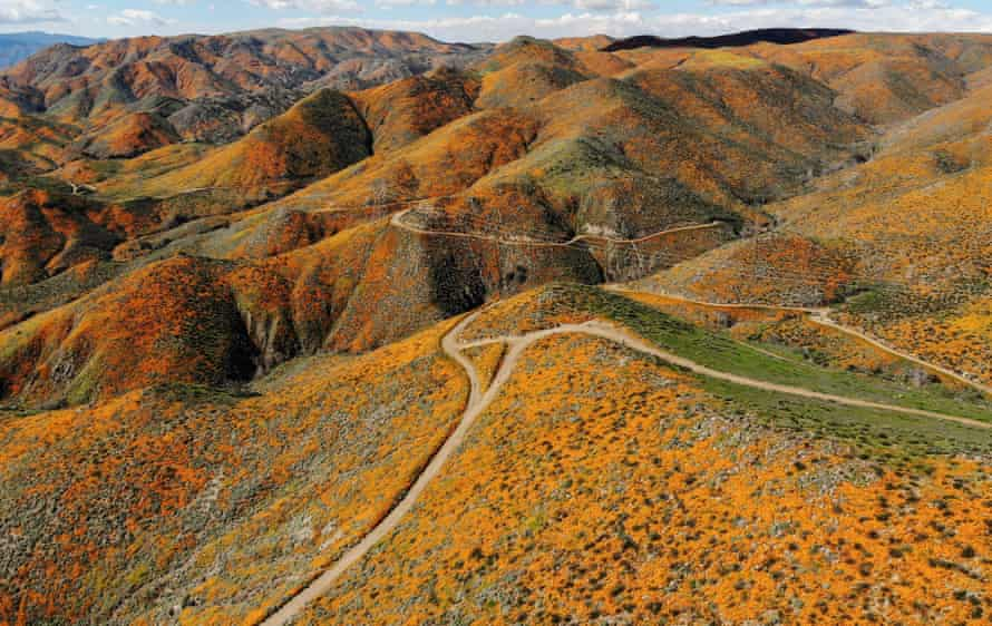 The super bloom has blanketed Walker Canyon in orange flowers.