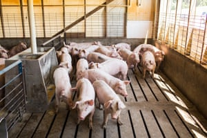 Young hogs are gathered in pens at Butler Farms in Lillington, NC. The hogs live on slatted flooring which their waste is washed through and gathered before being pumped into covered lagoons.