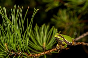 Pine Barrens treefrog, at Webb's mill bog in New Jersey, US