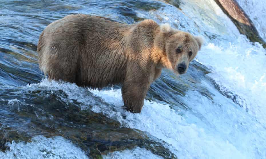 Grazer, an aggressive female bear, at Katmai national park in Alaska.
