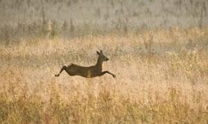 Roe deer buck, running across fallow field in Oxfordshire