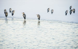A group of Herons rest on the edge of frozen Raastasjoen lake in Solna, near Stockholm