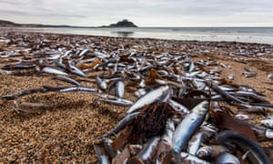 St Michael's Mount can be seen in the background as dead fish litter the beach at Marazion