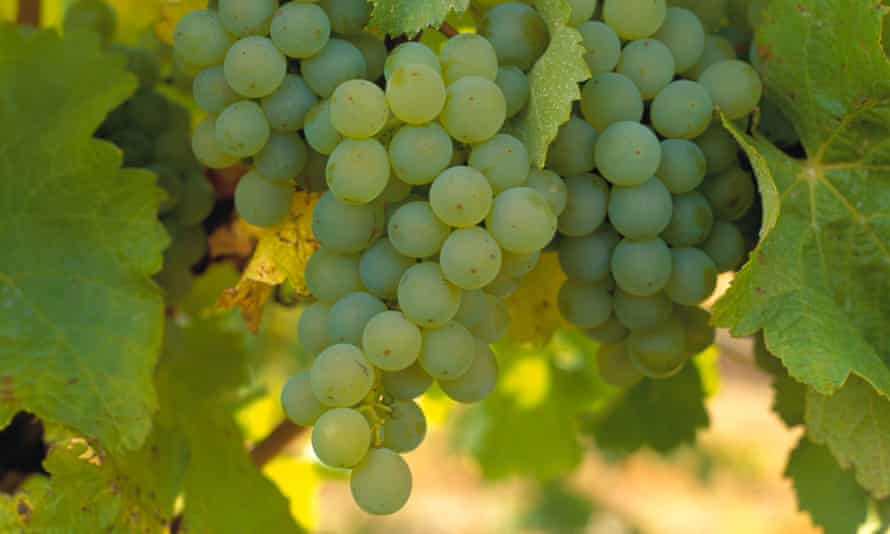 Sauvignon Blanc grapes from Australia are being used in Montana's wine for New Zealand