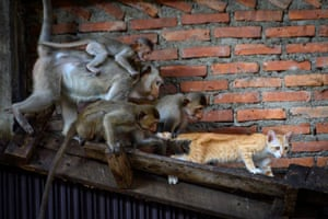 Longtail macaques pull the tail of a cat in an abandoned building in the town of Lopburi, 155km north of Bangkok