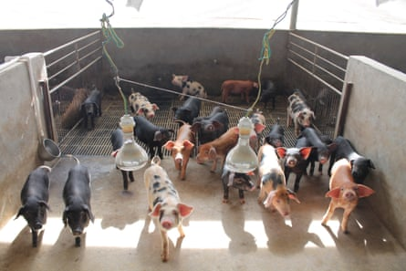 Pigs on a farm in China.