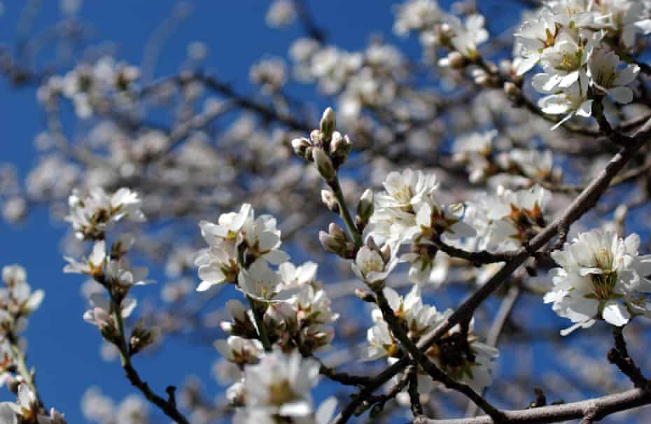 An almond tree blooms, near Visalia, in California. Honeybees pollinate many crops, including almond trees in February, and are essential to the food chain. Bees are mysteriously disappearing at an alarming rate in 24 states throughout the United States.
