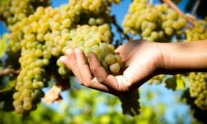 Viognier grapes growing in the Rhône Valley.