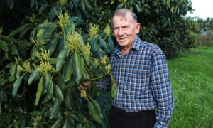 Avocado grower Ron Bailey on his Te Puke avocado orchard in the Bay of Plenty