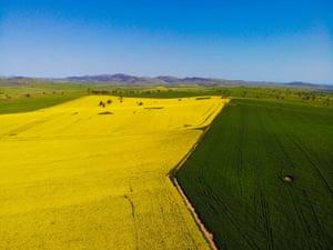 A canola field outside Canberra.