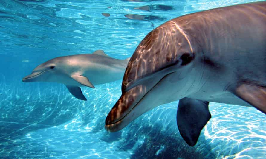 Dolphins at Dolphin Marine Magic's 'pet porpoise pool' in Coffs Harbour.