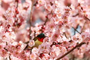 A sunbird standing on a plum tree blooming in Yichang city in central China's Hubei province