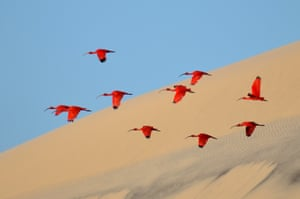 Young Wildlife Photographers: 15–17 years old winner: <em>Flight of the scarlet ibis</em> by Jonathan Jagot (France)<br> Jonathan has been sailing round the world with his family for five years. Anchored off the island of Lençóis on the coast of north-east Brazil, he captured this shot scarlet wings against the canvas of sand and tropical blue sky.