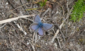 A silver-studded blue butterfly on Iping Common, West Sussex.