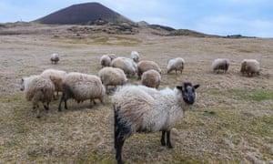 Windblown sheep grazing on the slopes below Helgafell.