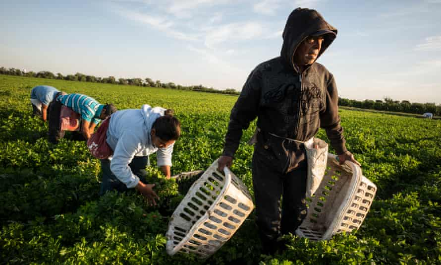The community works picking crops