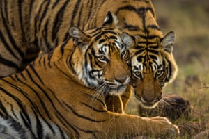 A pair of young Bengal tigers in India's Ranthambore national park