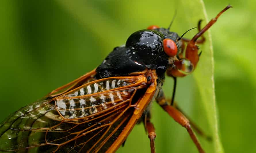 Brood X of cicadas is emerging across the eastern US to mate after 17 years spent underground.