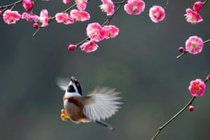 A bird flies amid plum blossoms in a garden in Wuxi, east China's Jiangsu Province