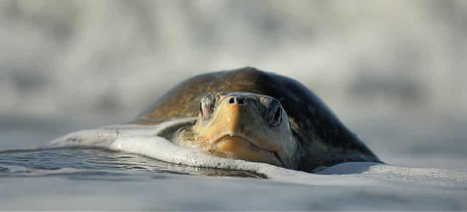 An olive ridley sea turtle