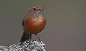 A rockwarbler