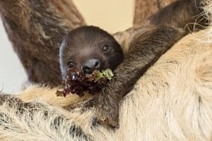 Vienna, Austria: A baby sloth eats some salad