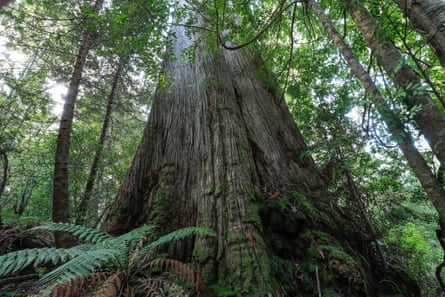 A Tasmanian old-growth forest area