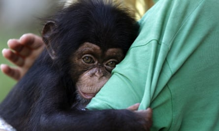 A baby chimpanzee clings to a zookeeper in the Netherlands. A US court has ruled apes do not have the same legal rights as humans.
