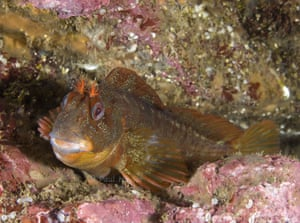 This is another picture of 'Benny the blenny'