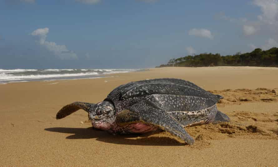 A female leatherback turtle heading back to sea after nesting